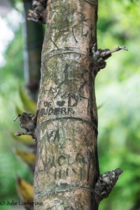 No old oak trees here for people to carve their names into - just bamboo:)