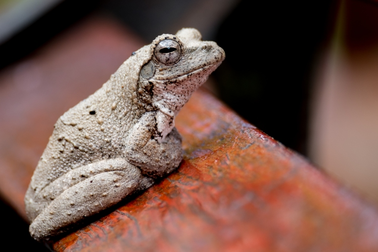 Frog Thanda-03