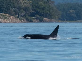 An orca!
